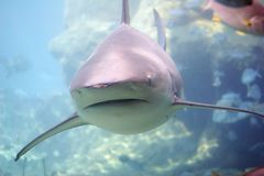 Whaler. Approaching whaler reef shark Royalty Free Stock Photography
