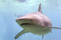Whaler. Turning whaler reef shark Stock Images