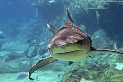 Whaler-Shark. Whaler shark swimming over reef Stock Photo