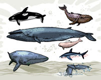 Whales. 6 whales and 1 shark - swimming underwater Royalty Free Stock Photography