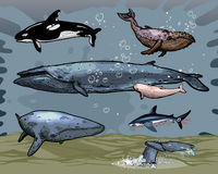 Whales. 6 whales and 1 shark - swimming underwater Stock Photo