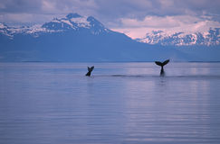 Whales. Humpback whales sounding.Frederick Sound SW Alaska stock photography