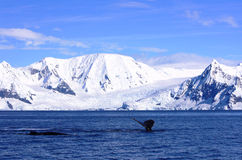 Whales along polar shores, Antarctica Royalty Free Stock Photos