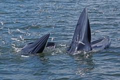 Whales. Animal mother&baby inthailand nature sea seagoll royalty free stock image