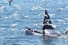 Whales. Animal sea inthailand nature royalty free stock images