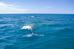 Whales in Argentina. Photo of whale in waves of sea near Valdez peninsula in Argentina Stock Image