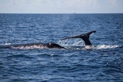 Whales in Atlantic Ocean Stock Photos