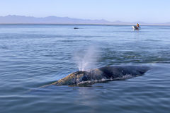Whales in Baja, Mexico. Whale watching in Ojo De Liebre Lagoon in Baja, California, Mexico royalty free stock photos