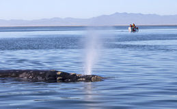 Whales in Baja, Mexico. Whale watching in Ojo De Liebre Lagoon in Baja, California, Mexico royalty free stock image