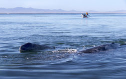 Whales in Baja, Mexico. Whale watching in Ojo De Liebre Lagoon in Baja, California, Mexico stock photo