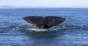 Whales in Baja, Mexico. Whale watching in Ojo De Liebre Lagoon in Baja, California, Mexico royalty free stock photography