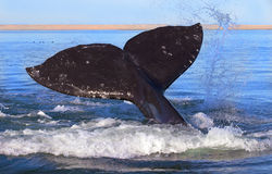 Whales in Baja, Mexico Royalty Free Stock Image