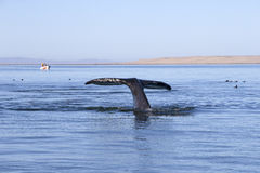 Whales in Baja, Mexico. Whale watching in Ojo De Liebre Lagoon in Baja, California, Mexico stock image