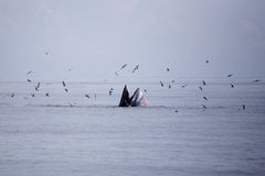 Whales (Balaenoptera brydei) eating Anchovy fish. In Gulf of Thailand stock image