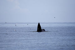 Whales (Balaenoptera brydei) eating Anchovy fish. In Gulf of Thailand stock photos