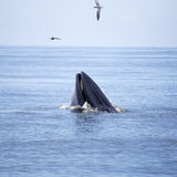 Whales (Balaenoptera brydei) eating Anchovy fish. In Gulf of Thailand royalty free stock photo