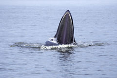 Whales (Balaenoptera brydei) eating Anchovy fish Stock Images
