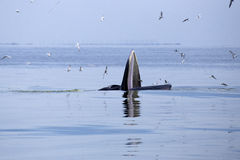 Whales (Balaenoptera brydei) eating Anchovy fish. In Gulf of Thailand royalty free stock photos