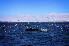 Whales and Birds. A whale surfacing to visit with some seagulls and birds Royalty Free Stock Photo