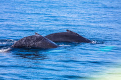 Whales, cape cod. A couple of whales in Provincetown, cape Cod, USA Royalty Free Stock Photography