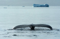 Whales in Greenland 2 Royalty Free Stock Image