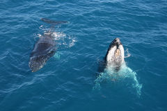 Whales Greeting. Two teenage Humpback Whales in the ocean Royalty Free Stock Photography