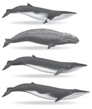 Whales. Illustrations of a Minke Whale, Gray Whale, Sei Whale, and a Fin Whale Royalty Free Stock Photography
