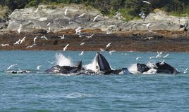 Whales lunch time. Humpback whales, net feeding in Auk Bay Alaska Stock Images
