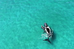 Whales - mother and calf Royalty Free Stock Photos