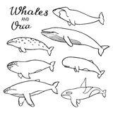 Whales and orca set. Hand-drawn cartoon collection of sea mammals - killer, sperm, blue, humpback, grey, fin, bowhead Royalty Free Stock Images