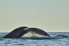 Whales in Pacific Ocean near Cabo San Lucas stock photography
