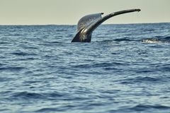 Whales in Pacific Ocean near Cabo San Lucas royalty free stock images