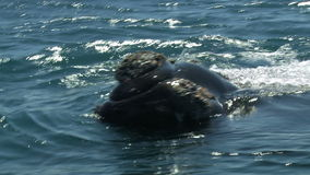 Whales. Peninsula Valdes, Argentina Royalty Free Stock Photos
