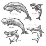 Giant sea animals shark whales vector sketch icons. Whales and sharks sketch icons set. Vector isolated giant sea animals or mammal marine or ocean fishes of Royalty Free Illustration