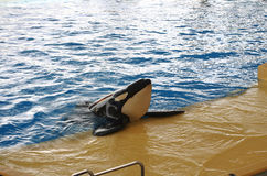 Whales show in Loro Parque Stock Images