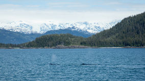 Whales in the Sound Royalty Free Stock Photo