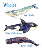 Whales species collection: Blue, Killer Whale Orca and Sperm whale, isolated on white background royalty free illustration