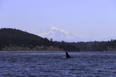 Whales spoting at the orca island washington royalty free stock images