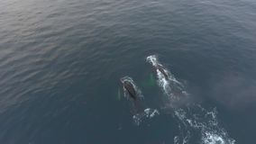 Whales swim under water in ocean waters. Andreev. Whales swim under water in ocean waters. Black whales dive under the water. The drone removes a flock of stock video footage