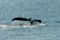 Whales Tail. Whale sounding off Cape Cod. The last sight before he or she's gone Stock Photos