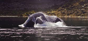 Whales Tail Stock Images