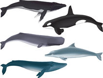 Whales. Vector Illustration of several kinds of whales Royalty Free Stock Photo