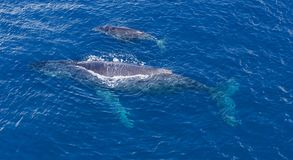 Whales winter season. A mother and her baby cruising along the coast of Reunion Island royalty free stock image