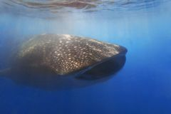 whaleshark 免版税图库摄影