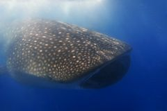 Whaleshark Royalty Free Stock Image