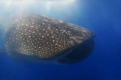 whaleshark 免版税库存图片