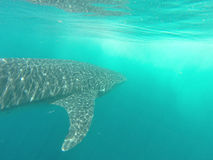 Whaleshark 图库摄影