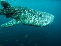 Whaleshark at derawan island, indonesia