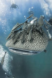 Whaleshark and diver. Whaleshark swimming with Remora suckerfish in the ocean near the island of Koh Tao in the Gulf of Thailand stock images