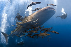 Whaleshark och scubadivers Arkivfoton